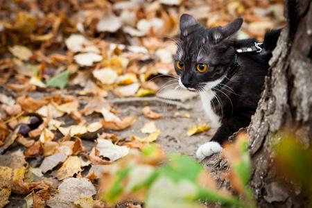 hojas secas: Un gato con una correa detr�s de un �rbol en el oto�o de hojas secas al aire libre Foto de archivo