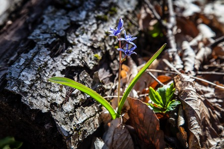 Early blooming flowers in the Crimea mountains photo