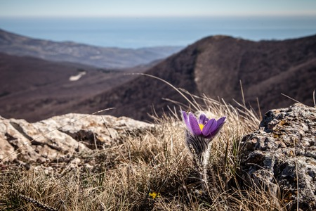 Early blooming flowers high in Crimean mountains photo