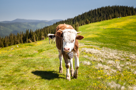 loitering: Cow Calf Loitering on Green Pasture Meadow in Mountains