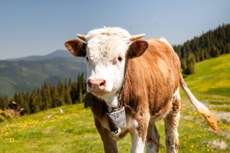 Cow Calf Loitering on Green Pasture Meadow in Mountains