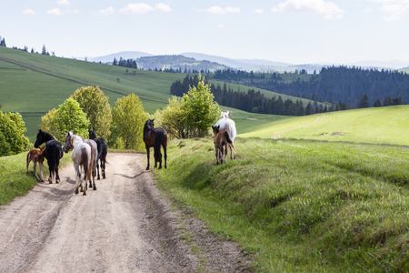 Herd of horses on green pastures in mountains Stock Photo - 80442365