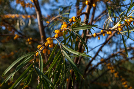 Branch of seabuckthorn with ripe berries on the tree