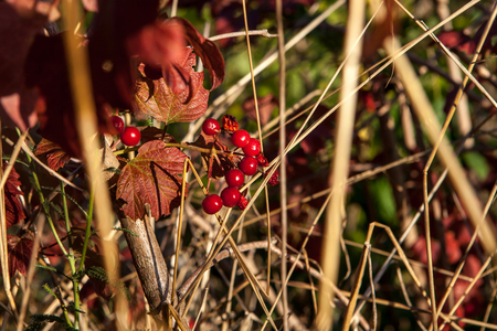 Bright red berries of a guelder-rose or Viburnum opulus bush on a sunny day