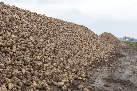 Pile of sugar beets harvest in farm