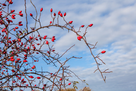 Ripe dogrose berries in fall against blue sky