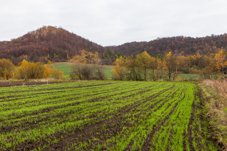 Winter crop panted in cultivated and prepared agricultural field
