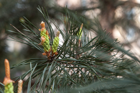 Blossoming pine tree branch in spring with buds and cones, copyspace Standard-Bild - 101530462