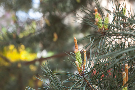 Blossoming pine tree branch in spring with buds and cones, copyspace