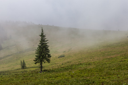 Dense fog over mountain meadow and European pine forest Standard-Bild