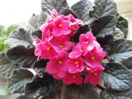 Uzambar violet, pink Stock Photo - 120480246
