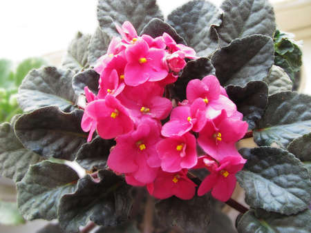 Uzambar violet, pink