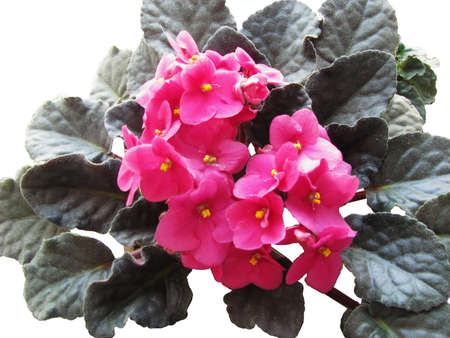 Uzambarskaya violet, pink, can be used in compositions and collages
