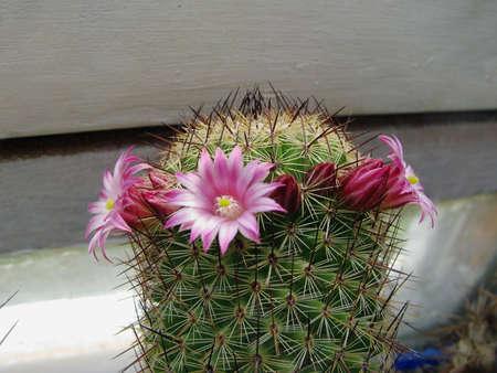 Cactus en fleurs Mamilliaria spinosissima, épineux