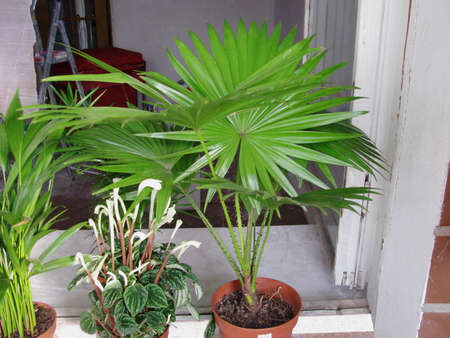 Livistons round-leaved palm and Lilians Peperomia at home Stock Photo
