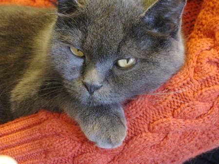 Cat breed Фото со стока - 131560777