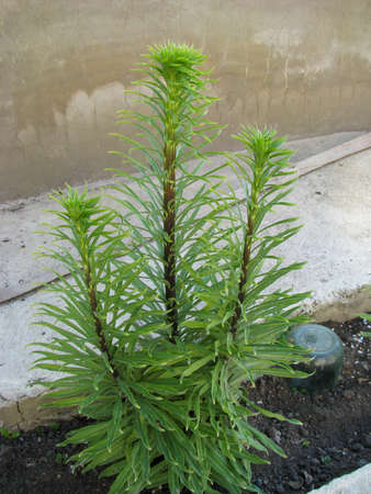 Grassy tuberous bulbous plant Lyatris spiny, young sprout on a lawn, fresh green foliage