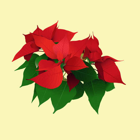 Vector image of a Poinsettia plant, Christmas star, unusual red and green leaves