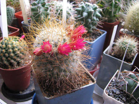 Cactus plant Mammillaria magnifica blooms, magnificent, in the home collection, close-up