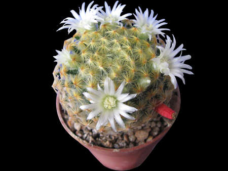 Blooming cactus Mammillaria schiedeana, white flowers and red fruit, close-up, isolated on black background