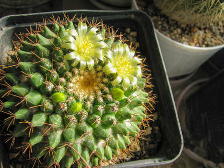 Cactus Mammillaria roseoalba blooms, lemon yellow flowers and buds, macro shot