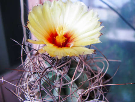 Cactus Blossoms Astrophytum Capricorn, Capricorn, Among the Collections, Macro Photography, Zoom, Detail Stock Photo