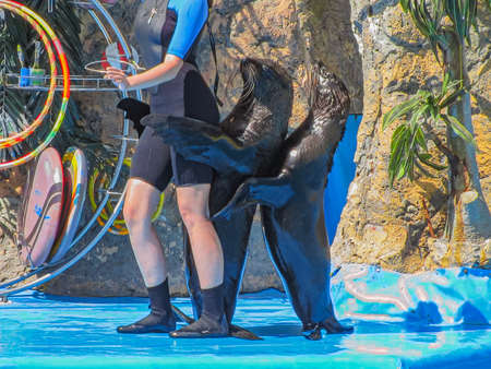 A Funny Company of Eared Seals Together with a Tamer Perform a Funny Dance