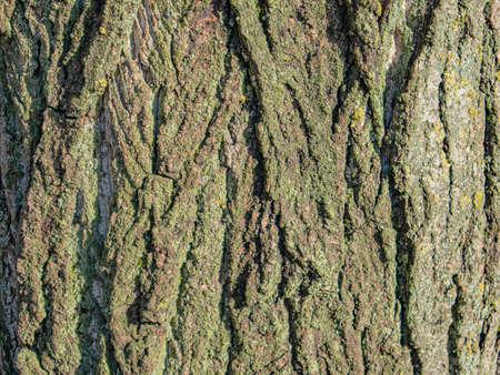 Elm Tree Bark, Covered With Green Lichen, Deep Relief Structure Imagens