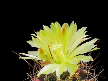 Yellow Cactus Flower Hamatocactus Longihamatus, Close Up, Detail, Isolated On Black Background