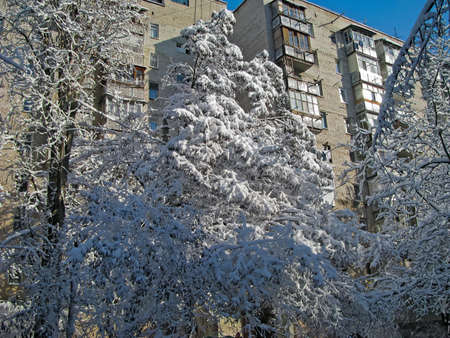 The Tall Tree Is Covered with A Snow-White Fur Coat and Bathes in The Rays of the Bright Winter Sun Against the Background of a Multi-Storey Residential Building