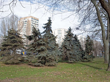 Several Blue Spruce Trees Grow On One of the Lawns in The Park Area of the Suvorov District of Odessa Zdjęcie Seryjne