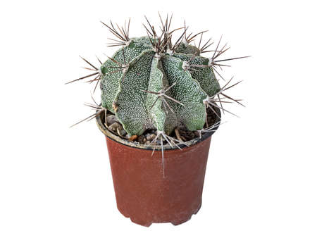 Cactus Astrophytum Ornatum, Age 7 Years Old, Homeland of Growth, Mexico. Isolated On White Background