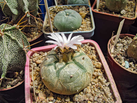 Cactus Plant Lophophora Williamsii Blooms Among a Collection of Succulents, Age Five Years, The Birthplace of Mexico