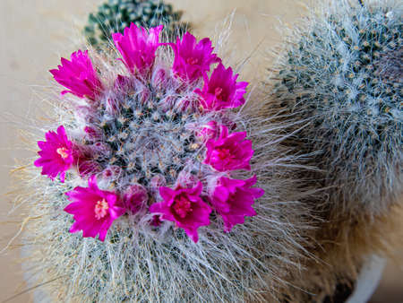A Bright Pink Corolla of Flowers Adorns the Cactus Mammillaria Hahniana, Consisting of Three Stems. Plant Age, Fifteen Years Old, Homeland, Mexico and Southern North America  Stock Photo