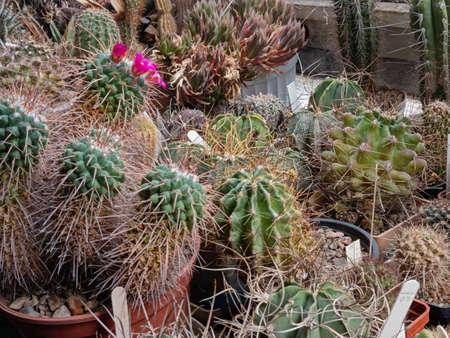 A Collection of Cacti and Succulents Grow and Bloom in A Home Greenhouse On the Balcony Archivio Fotografico