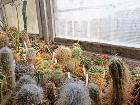 A Collection of Cacti and Succulents Lit by The Bright Spring Sun in A Home Greenhouse On the Balcony Archivio Fotografico