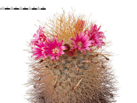 A Wreath of Red-Pink Flowers Adorns the Cactus Plant Mammillaria Magnifica. A Comparative Size Scale of One Inch Is Shown. Isolated On White Background