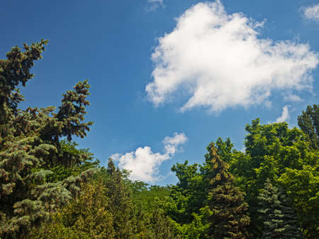 A White Cloud in The Azure Sky Floats Over the Tops of Firs, Pines and Acacias in The Park Zone of the City of Odessa