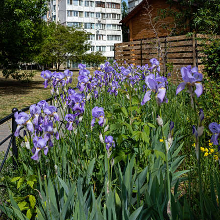 Purple Irises Grow On the Lawn in The Local Area in The Residential Area of the City of Odessa Banco de Imagens