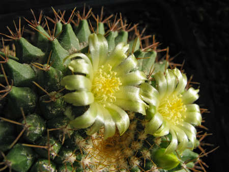 Yellow-Green Flowers of the Cactus Mammillaria Roseoalba On a Black Background, Macro Shot, Close-Up Banco de Imagens