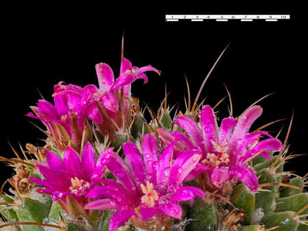 The Flowers of the Mammillaria Roseoalba Cactus Have Formed a Beautiful Crown On Top. Droplets Are Visible After Spraying. Isolated On Black Background. Comparative Ruler Is One Inch Long