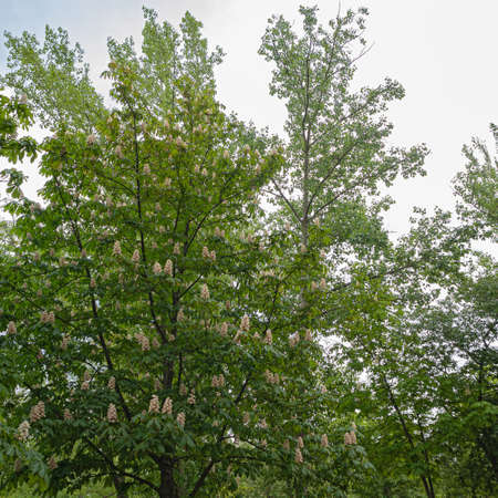 Blooming Chestnut Tree Is Decorated with Peculiar Pink and White Vertical Inflorescences, Popular Name, Candles