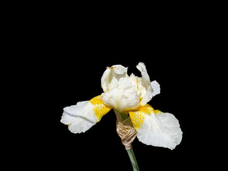 Iris Bloom Is White and Yellow. Isolated On Black Background