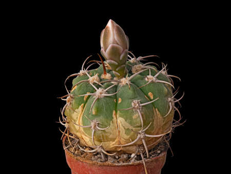 The Cactus Gymnocalycium Denudatum Has Formed a Bud and Is Ready to Bloom. Isolated On Black Background Banco de Imagens