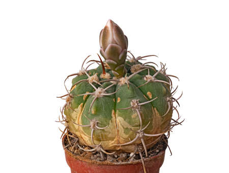 The Cactus Gymnocalycium Denudatum Has Formed a Bud and Is Ready to Bloom. Isolated On White Background
