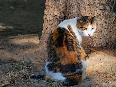 A Fluffy White-Brown Spotted Cat Closely Looks at What Is Happening Behind Her Back. Background Is Slightly Blurred 版權商用圖片