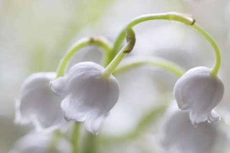 lily of the valley flowers, macro studio shot Stock Photo