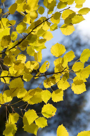 Yellow aspen leaves and the blue sky photo