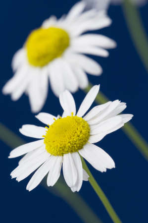 ox-eye daisy flowers on blue background photo