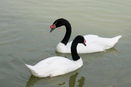 to black-necked swans on a pond Stock Photo